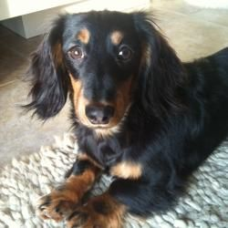 Adopt Shubert On Pups Adoptable Dachshund Dog Dogs Purebred Dogs