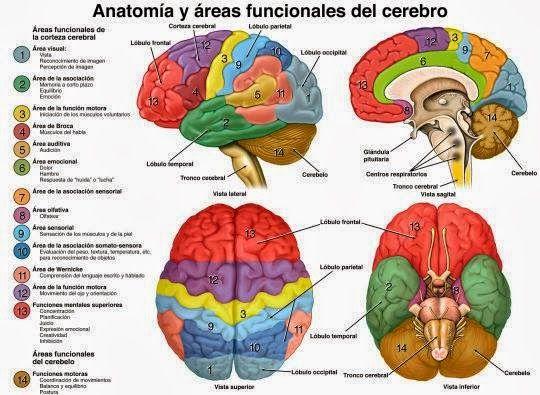 El Cerebro Y Sus Lóbulos Ciencia Políticamente Incorrecta Anatomia Del Cerebro Humano Cerebro Humano Anatomía