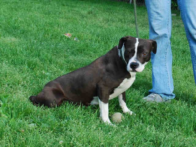 Bullboxer Pit Dog For Adoption In Louisville Ky Adn 558360 On