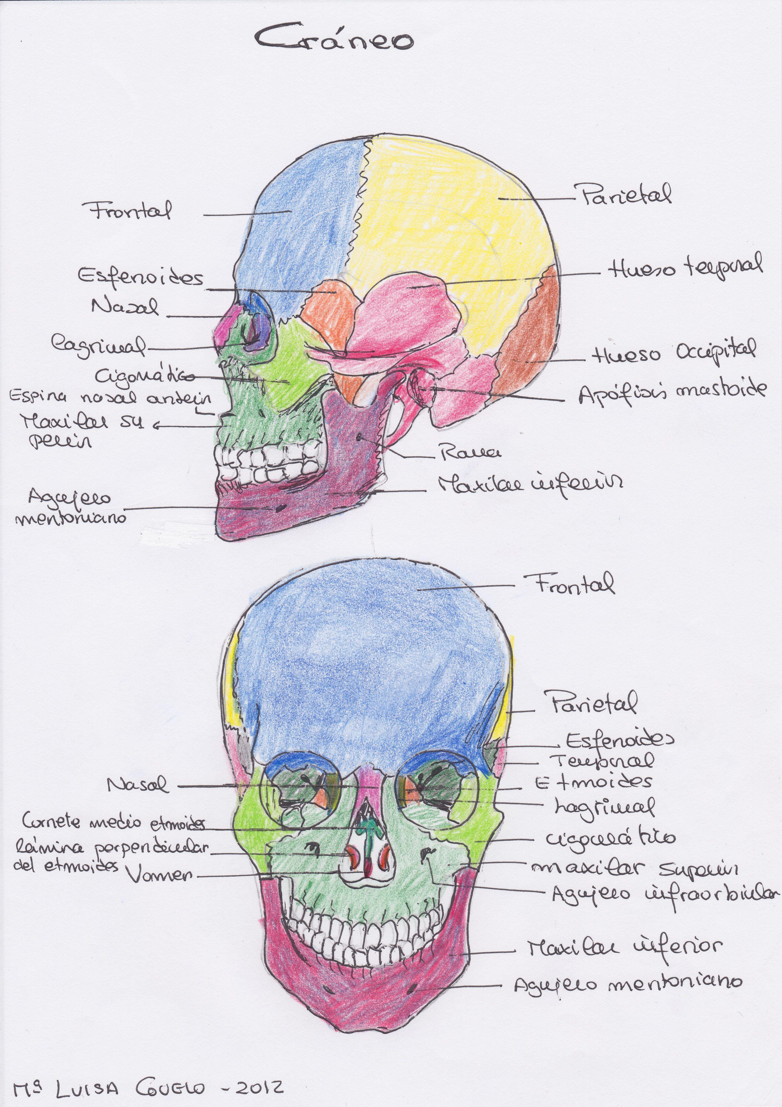 Craneo | Humana Anatomia | Pinterest | Anatomía, Apuntes y Fisiología