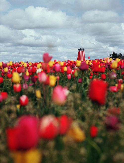 tulips for tuesday (one of two) (by manyfires)
