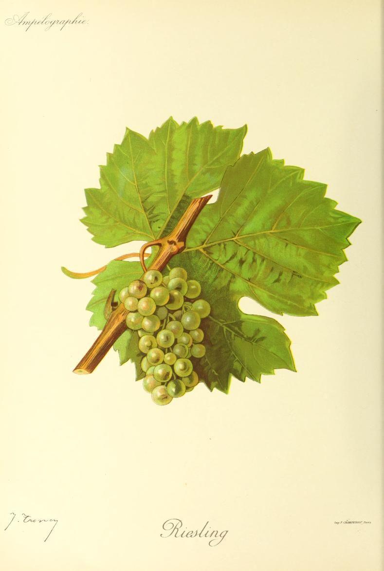 Riesling | Виноград