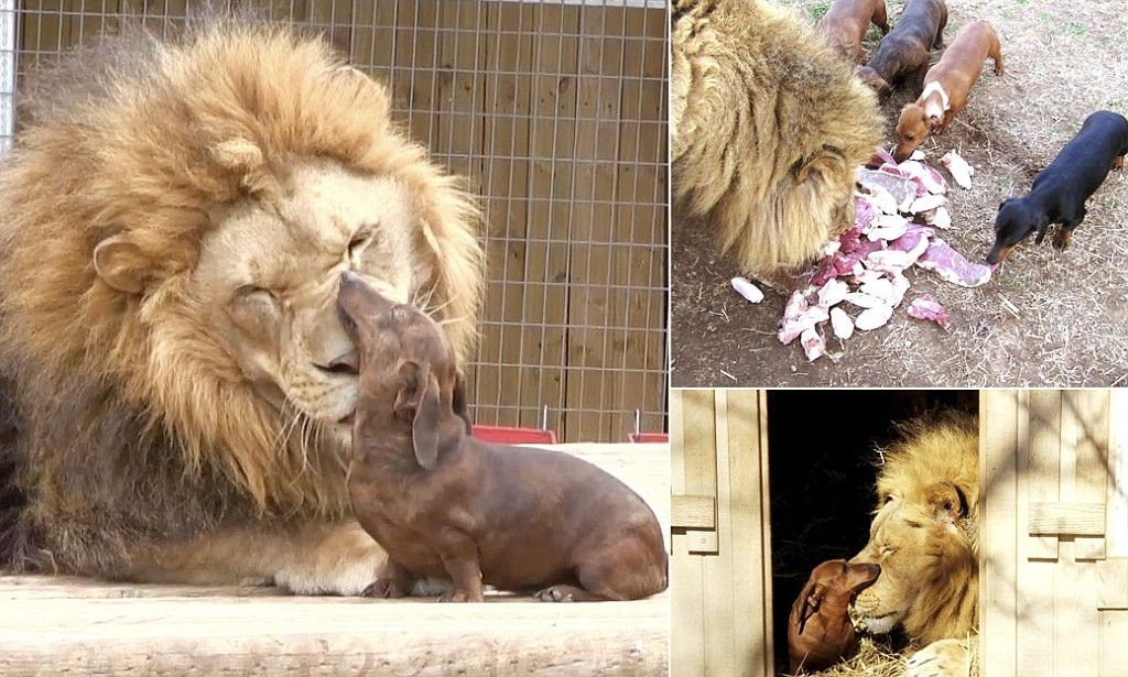 Bonedigger The Crippled Lion Forms Inseparable Bond With Milo The