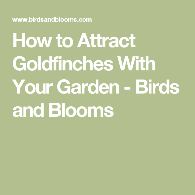 How to Attract Goldfinches With Your Garden - Birds and Blooms