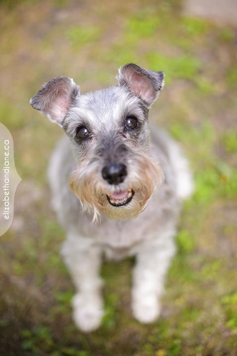 Adopt Mason on Adopt A Senior Dog Schnauzer, Dogs