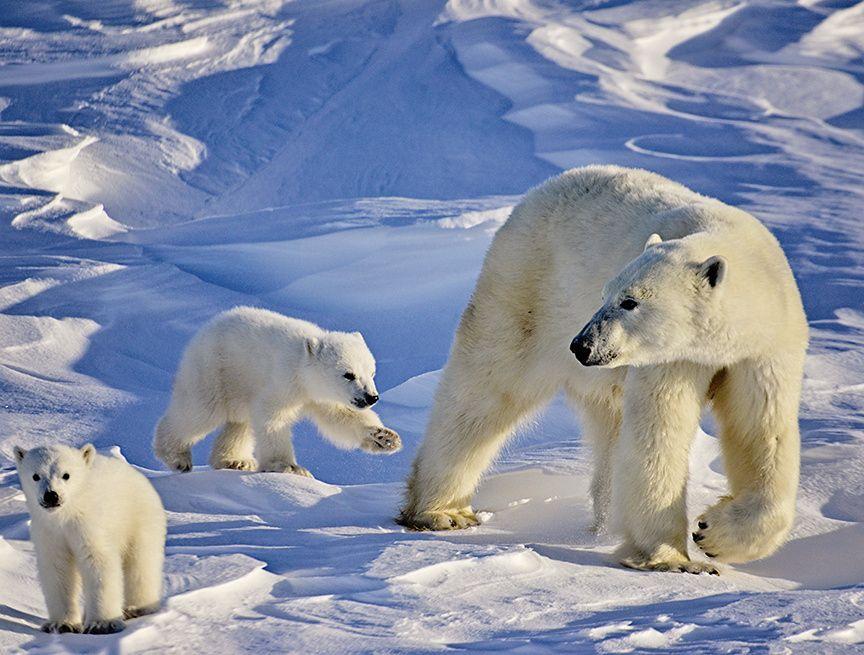 заканчивал третий картинки среда обитания белого медведя смысл