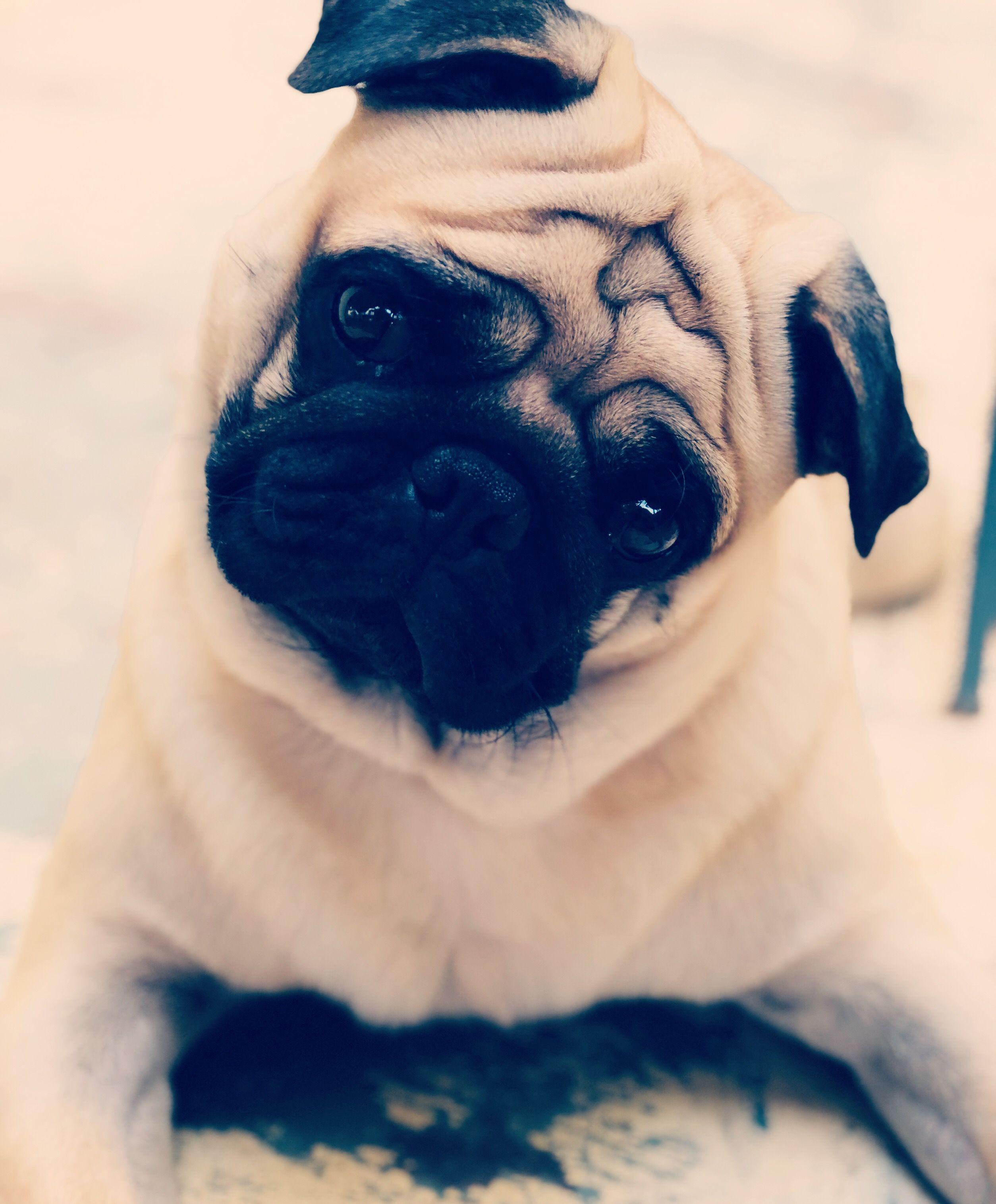 Pin By Cooljay On Pogo The Pug Cute Small Dogs Cute Pugs Dog Love