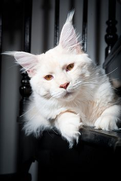 """""""Albino bobcat"""" - While this isn't a fake cat, it *isn't* a bobcat. It's just a white Maine Coon breed domestic cat. Also, if you go to the Flickr site the image is originally from, it says nothing about the cat being a bobcat and is even tagged """"Maine coon""""."""
