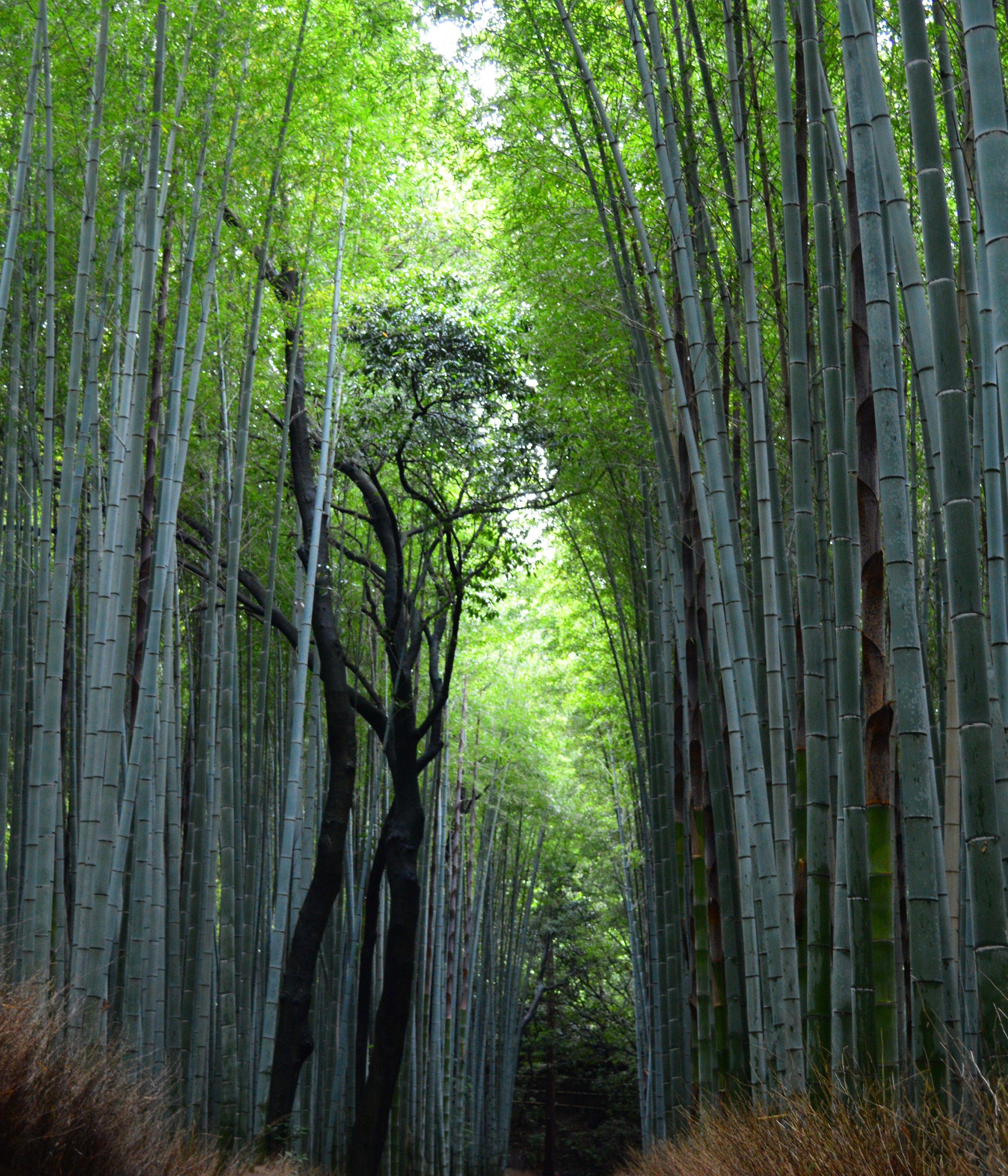 bamboozled – kyoto's arashiyama bamboo grove hd wallpaper from