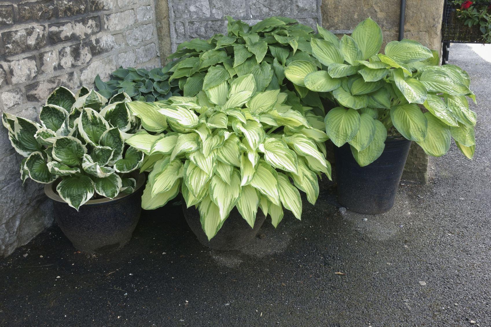 hosta houseplant care how to grow hosta indoors hosta pinterest rh pinterest com