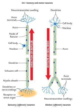 Darlak4science Topic 2 Structure Of The Brain