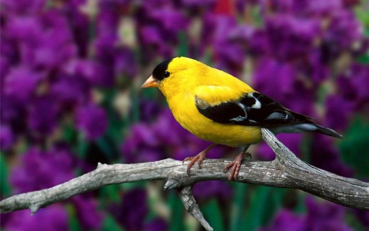 American Goldfinch Bird Branch Flowers Leaves Color