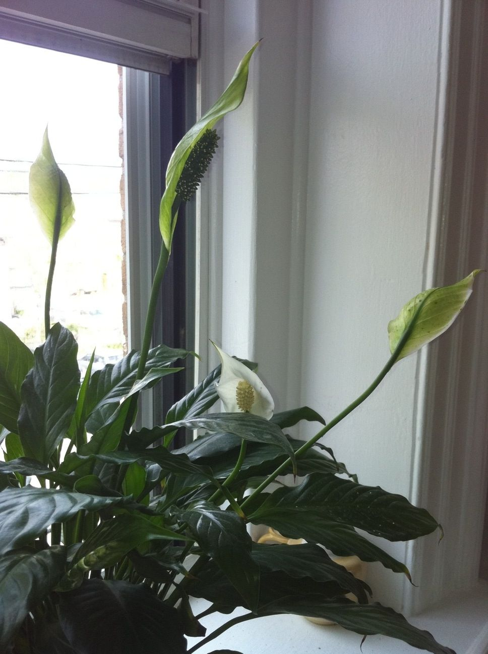 Peace Lily Flowers Brown Spots Stock Flower Images Pinterest
