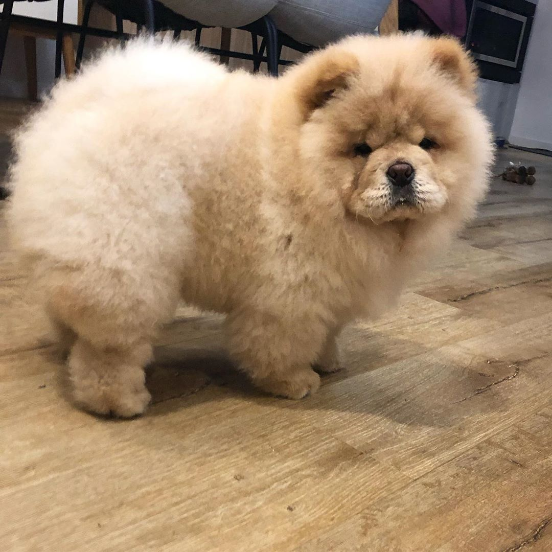 Floof By Name Floof By Reputation Sunnyjoy Chowchow