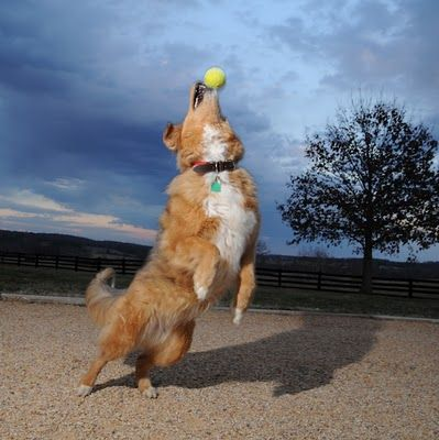 Milla the dog catches a tennis ball