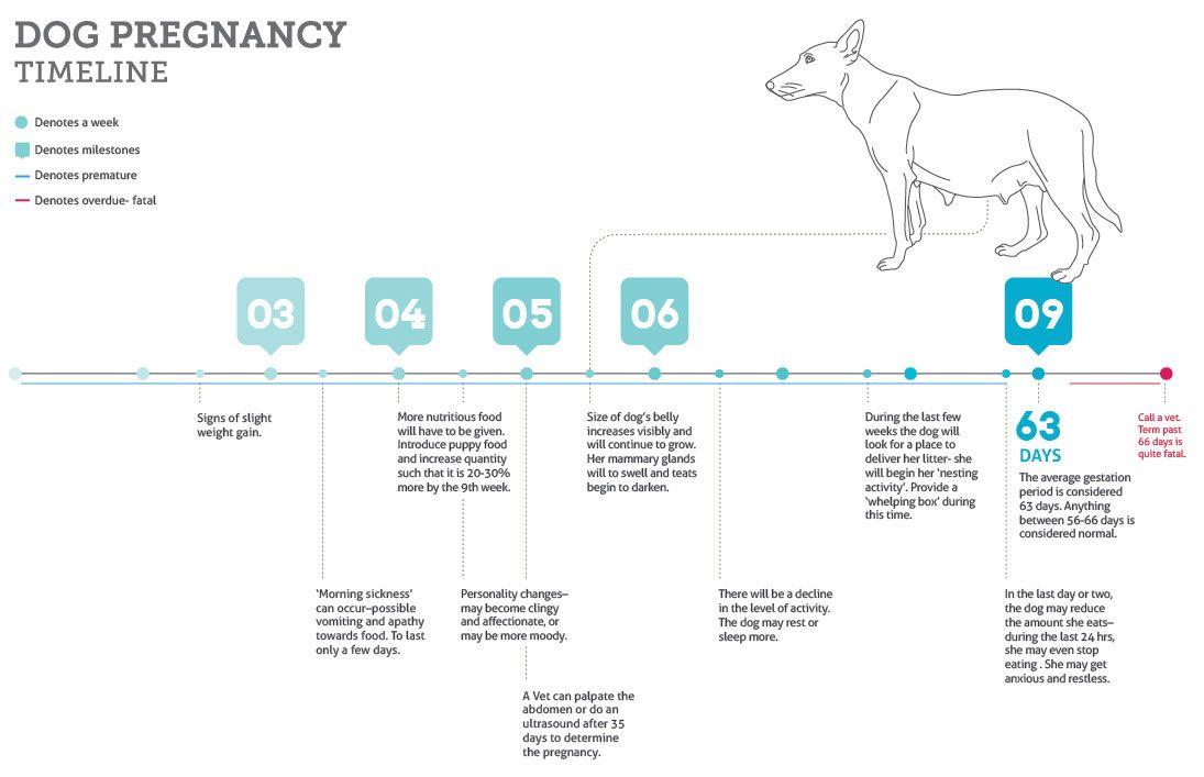 Dog Gestation Timeline Jpg 1095 707 Dog In Heat Dog Heat Cycle