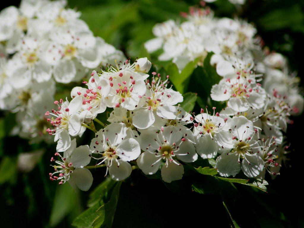 Flowering Tree Identification Tree Identification June 2010
