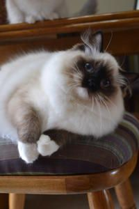 Ragdolls Ragdoll Essex Ontario Cats Kittens Southwestern Ontario Windsor Toronto Michigan Ragdoll Kittens Ragdol Ragdoll Cat Ragdoll Kitten Super Cat