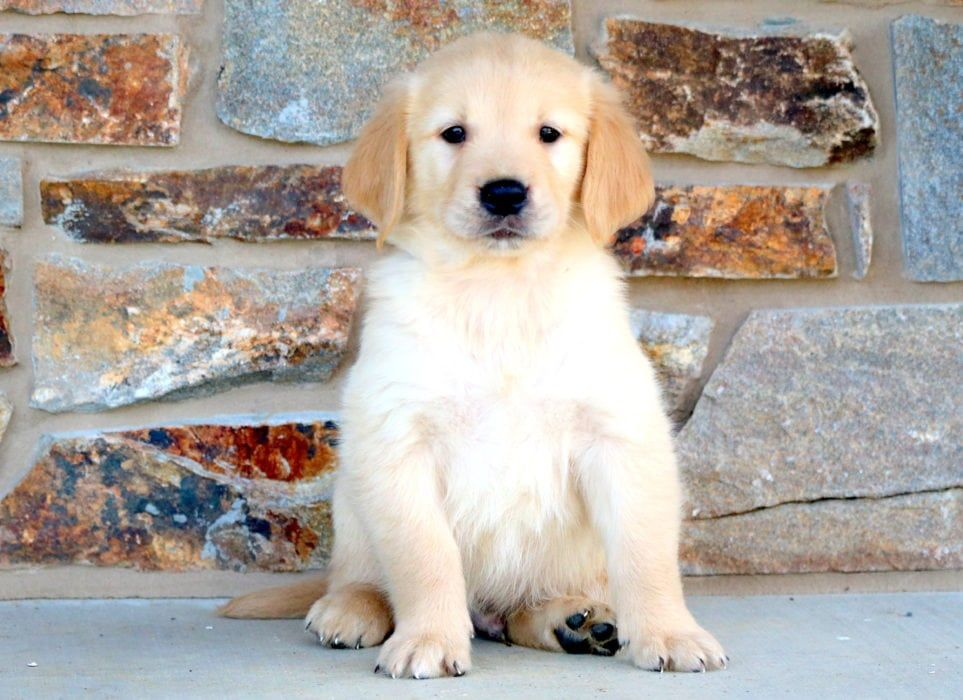 Frisky Golden Retriever Puppies Husky Puppies For Sale Husky