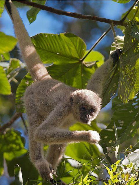 Northern Muriqui Brachyteles Hypoxanthus Spider Monkey Great Ape Chimp