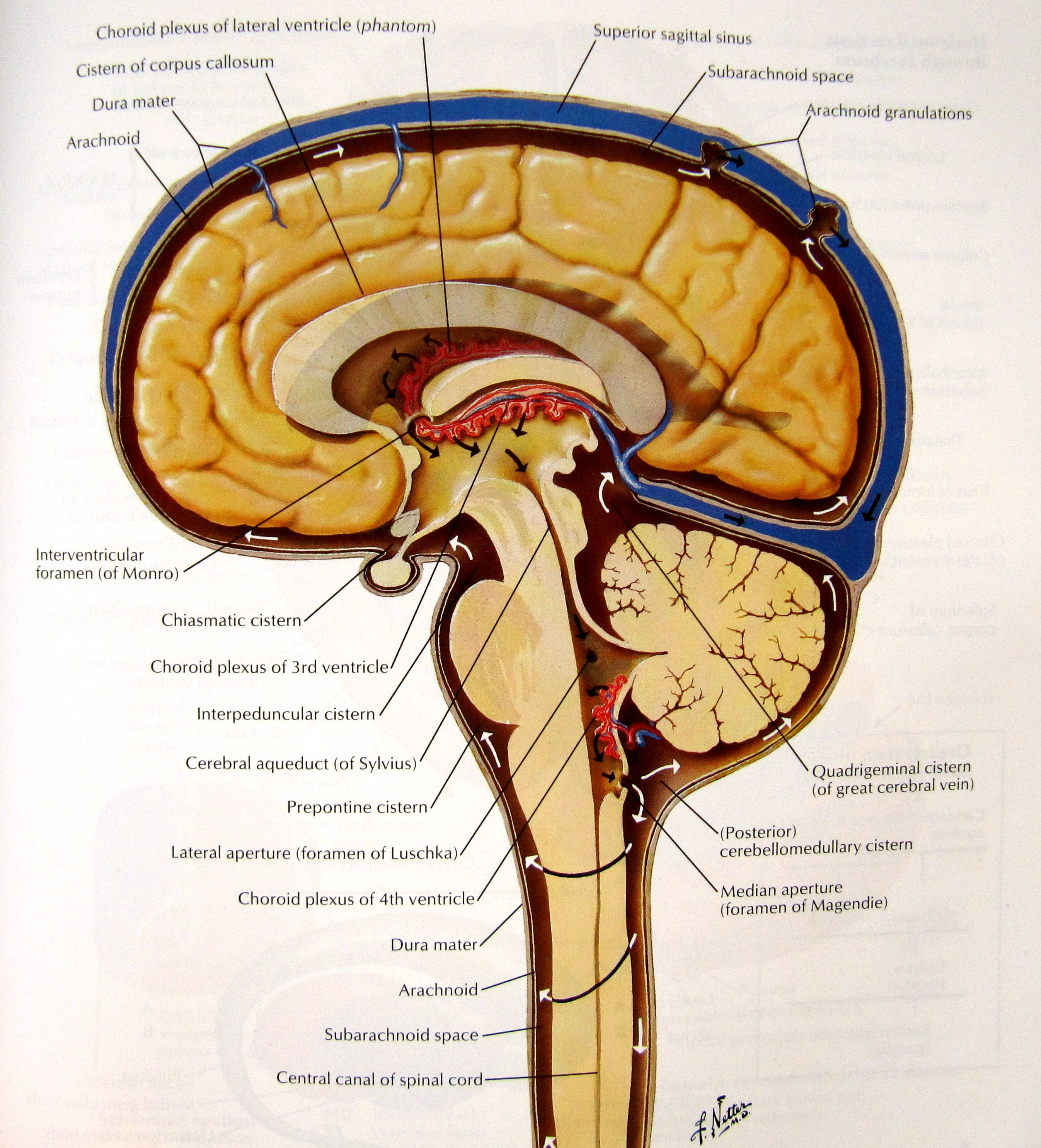 Anatomy Of Brain In Meninges Brain And Spinal Cord Anatomy