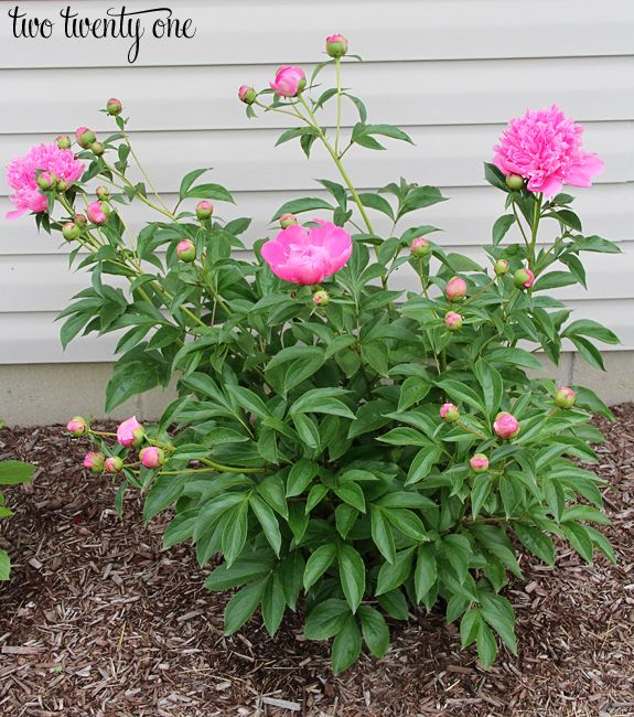 Growing Peonies Peony Bush Care Growing Peonies Lawn And Garden