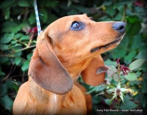 Dixie is an adoptable Dachshund Dog in Houston, TX. WE ARE