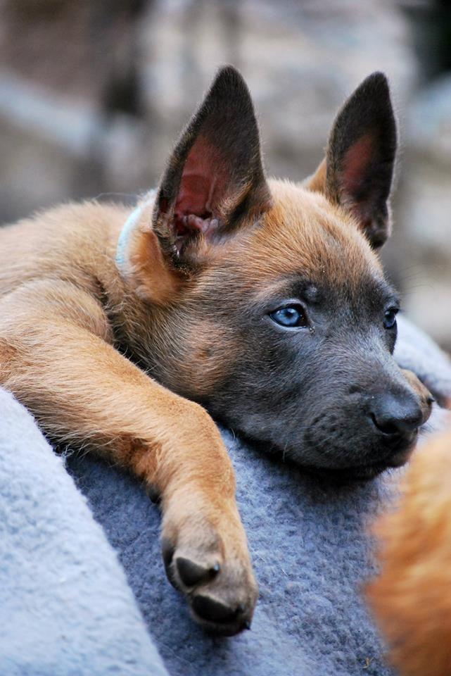 Captain Malinois Dog Malinois Puppies Belgian Malinois Dog