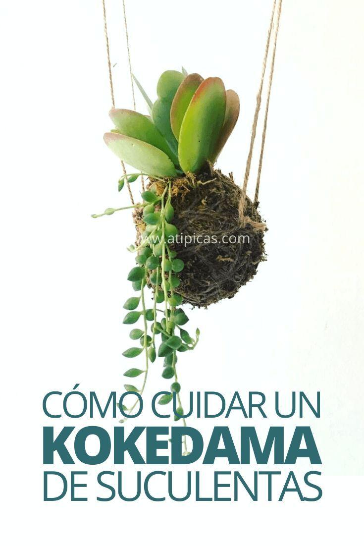 Cómo cuidar un kokedama de suculentas paso a paso. Consejos y recomendaciones. Cuidados para suculentas.  Cómo regar un kokedama, cómo fertilizar un kokedama, cada cuánto regar un kokedama. Kokedama suculentas.