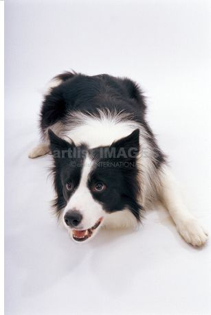 Bordercollie Thedog Artlistimages