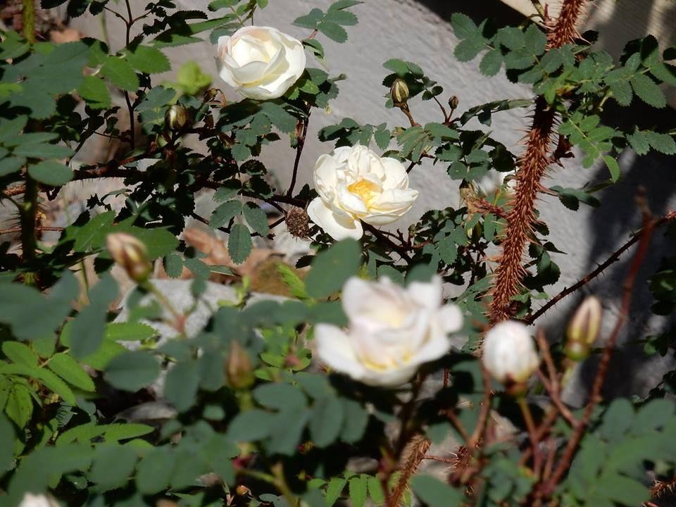 Juhannusruusu kukkii Joensuussa