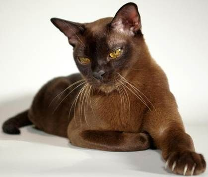 13 Smartest Cat Breed In The World In 2020 Burmese Cat Cats And Kittens Cat Breeds