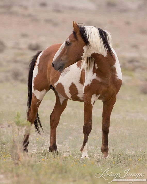 Picasso Turns - Fine Art Wild Horse Photograph - Wild Horse - Picasso - Sand Wash Basin - Fine Art P