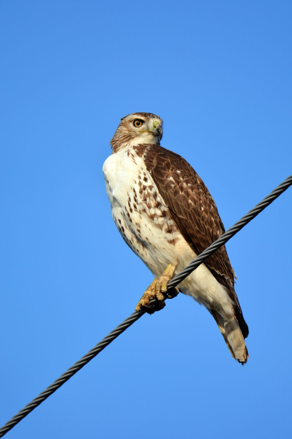Broad-Winged Hawk | National geographic