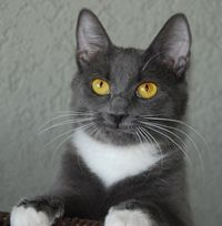 I'm Daffodil, a delightful gray and white cutie available for adoption at Simply Cats in Boise, ID.  Repin this and help me find a forever home!