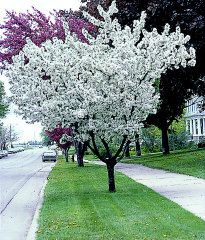 Spring Snow Crabapple Tree 20 X 20 No Fruit With A Brilliant White Spring Bloom Green Leaf Spring Snow Crabapple Trees To Plant Crabapple Tree