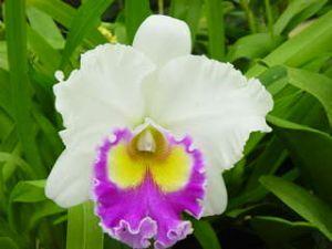 Olomana Orchids Dendrobium Hybrids