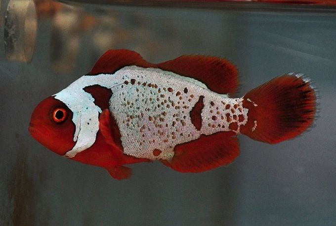 Lightning Maroon Clownfish Babies From The First Batch Will Be Released To The Public Saltwater Aquarium Fish Clown Fish Marine Aquarium Fish
