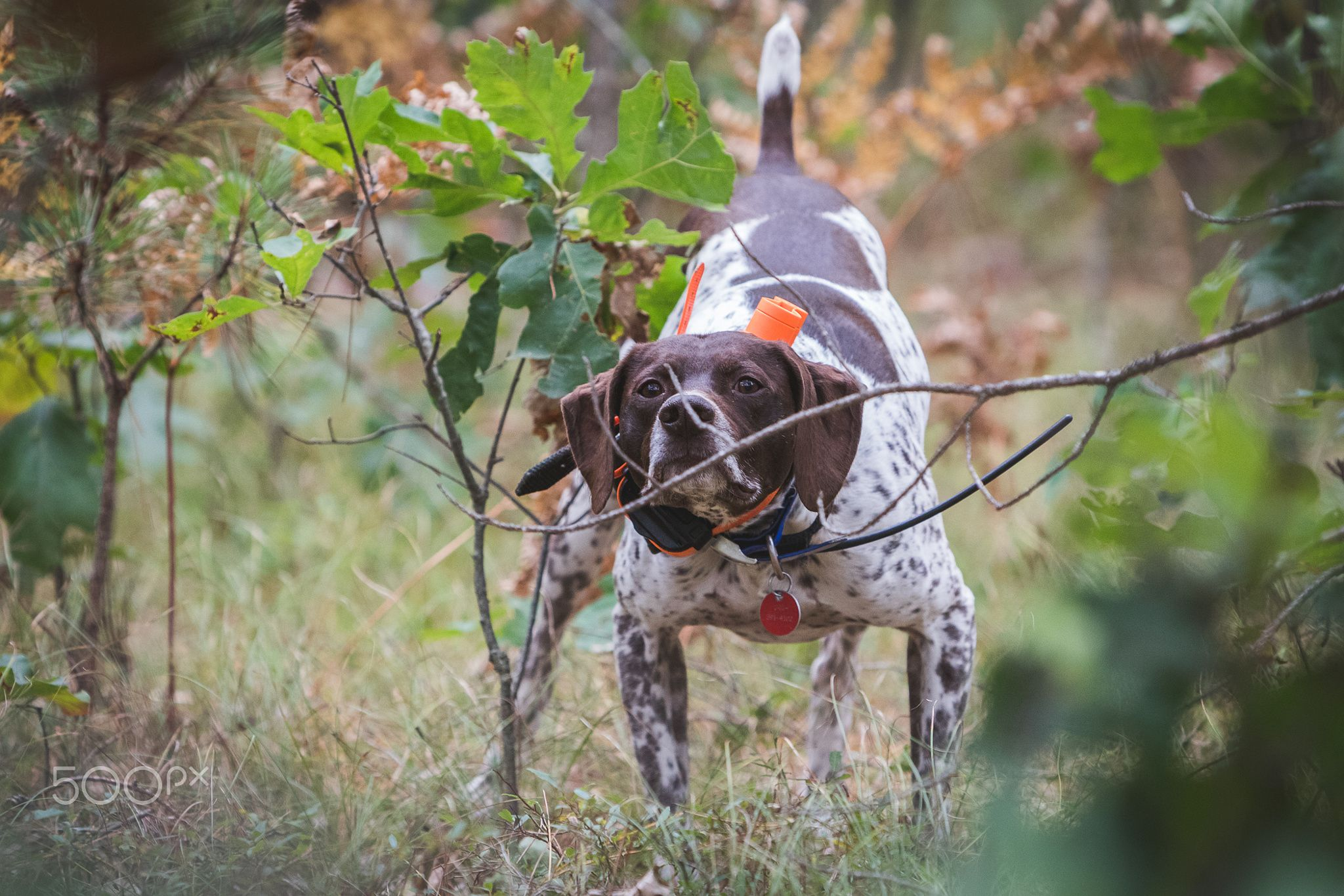 The Nose Photo of dog upland hunting for grouse and