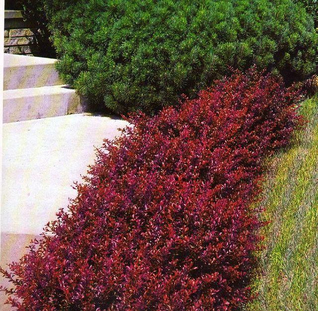 barberry crimson pygmy front
