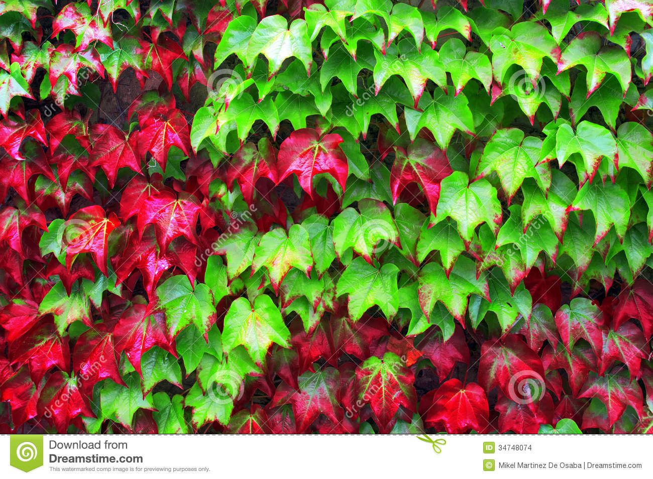 http://thumbs.dreamstime.com/z/ivy-plants-autumn-red-green-leaves-34748074.jpg