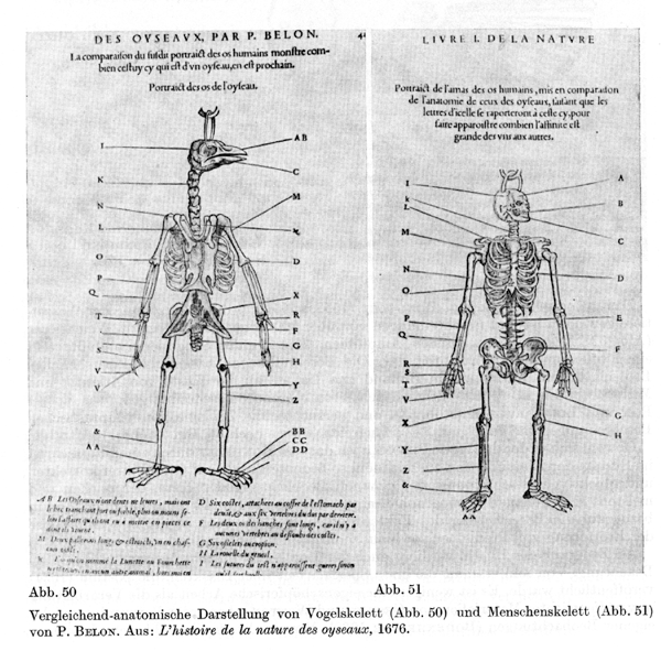Early comparative anatomy and classification  Pierre Belon