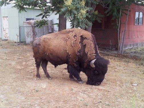 Buffalo In Hemet Hemet Buffalo Hemet Funny Animals Animals