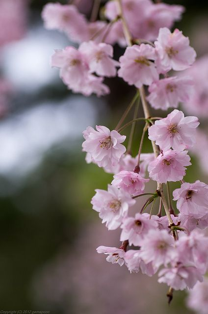 Cherry Blossom Tree My Fmc Maira Has A Japanese Name Sakura Which Means Cherry Blossom Beautiful Nature Pictures Cute Photography Photoshop Photography