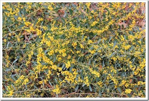 Bank Catclaw Acacia Redolens Desert Carpet Visit The Arboretum
