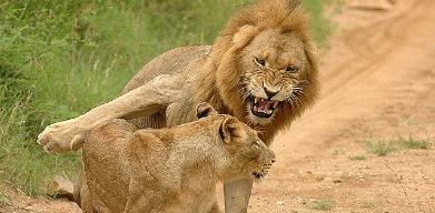 LIONS GALLERY WalkingForLions Lion, Animals, Gallery