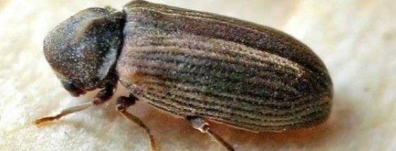 23 La Petite Vrillette Coleoptere Xylophage Vrillettes Javel Attention La Javel Va Decolorer Le Bois Pour Refair Vers De Bois Bois Insectes Xylophages