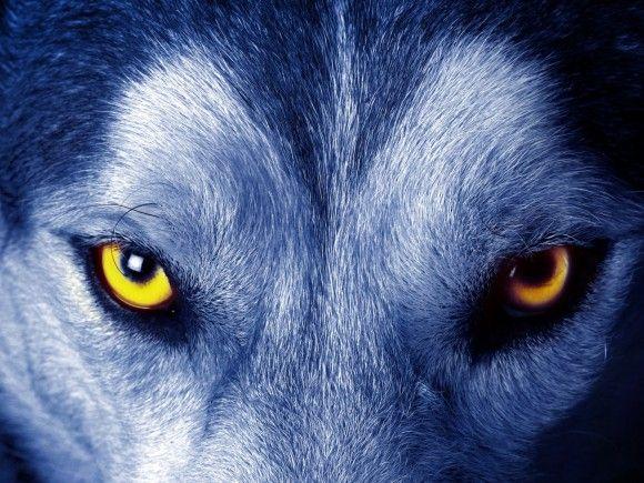 Fond D Ecran Des Yeux D Un Loup En Gros Plan Wolf Eyes Big Bad Wolf Fantasy Wolf