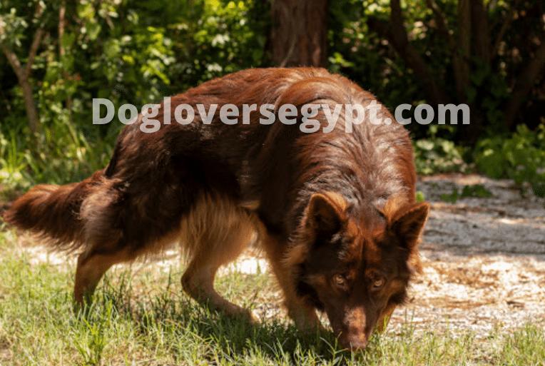 كلب جيرمن شيبرد الكبدي Liver Animals Fox