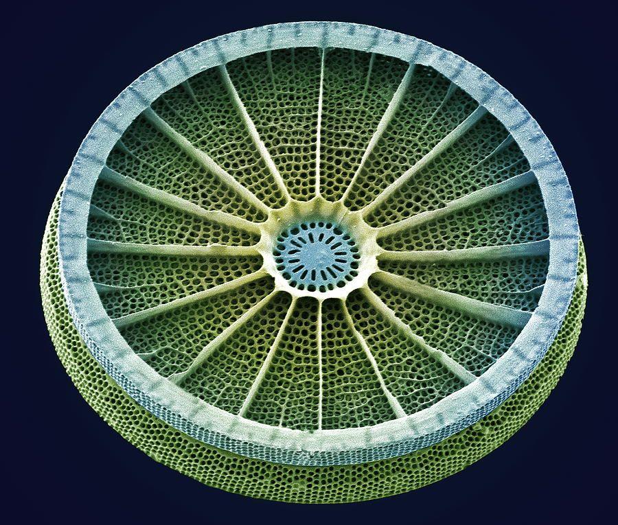 Diatom, Sem | Radiolarias&Diatoms | Scanning electron micrograph